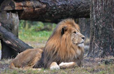 Löwe liegt im Schatten